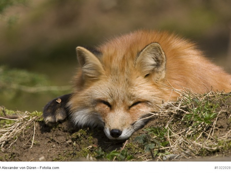 ruhender Fuchs