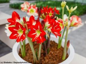Amaryllis sind beliebte Zimmerpflanzen aber giftig für Hunde