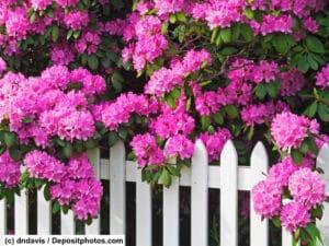 Rosafarbene Blüten eines Rhododendron hängen über einen weißen Zaun