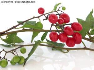 Tollkirsche Belladonna Zweig mit Beeren auf weißem Untergrund