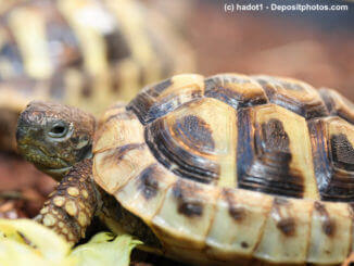 Seitliche Ansicht einer griechischen Landschildkröte (Testudo hermanni boettgeri)