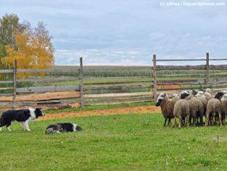 Zwei Border Collies hüten Schafe auf eingezäunter Wiese.