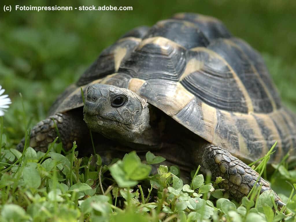 Griechische Landschildkröte mit Höckerbildung des Panzer aufgrund von Haltungsfehlern