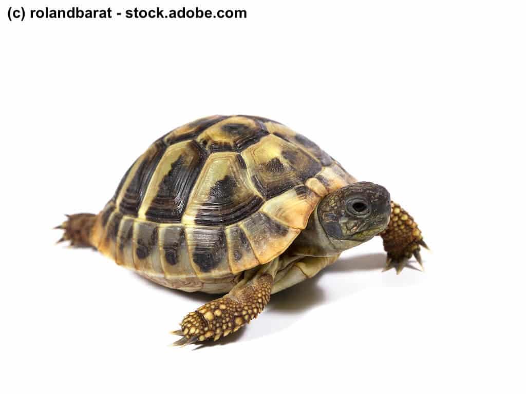 Landschildkröte mit normal entwickeltem glatten Panzer auf weißem Hintergrund