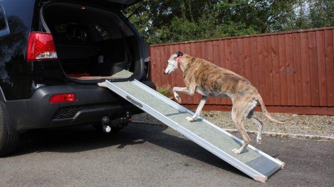 Windhund steigt über Rampe ins Auto ein