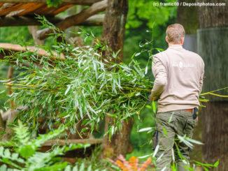 Tierpfleger im Zoo Berlin bei der Panda-Fütterung
