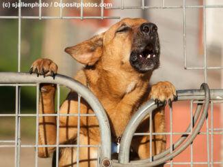 Brauner Hund bellt aufgerichtet hinter einem Tor