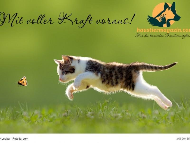 Katze, Kätzchen im Sprung