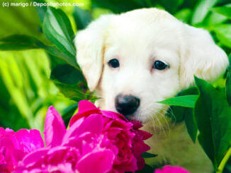 Ein weißer Welpenkopf schnuppert interessiert an einer Pfingstrosen-Blüte